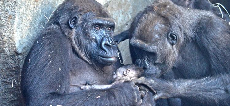 Nace el cuarto gorila en BIOPARC Valencia